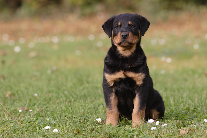 Rottweiller puppy sitting in the meadow .