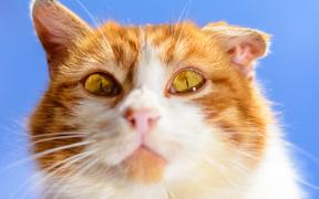 A magnificent red cat with yellow eyes close up on a blue sky background 2018