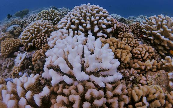 A bleached coral in the reef off the coast of Mo'orea, French Polynesia.