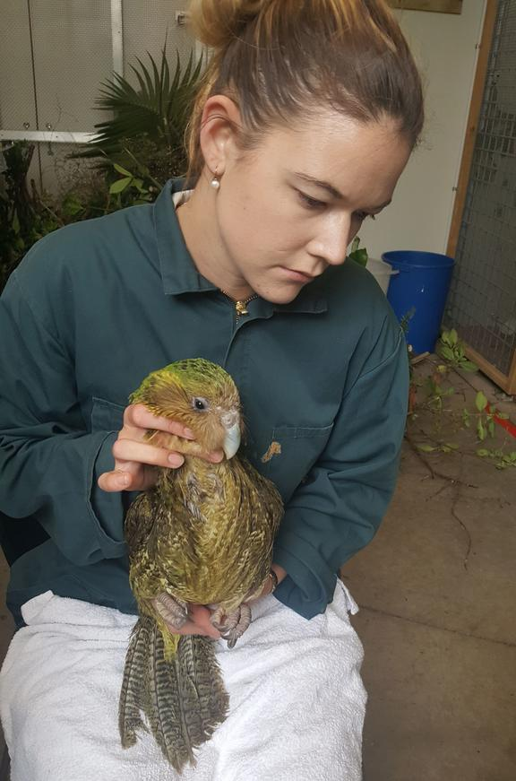 Auckland Zoo vet nurse Breeze Buchanan holding Weheruatang o te Pō, an adult female kākāpō.