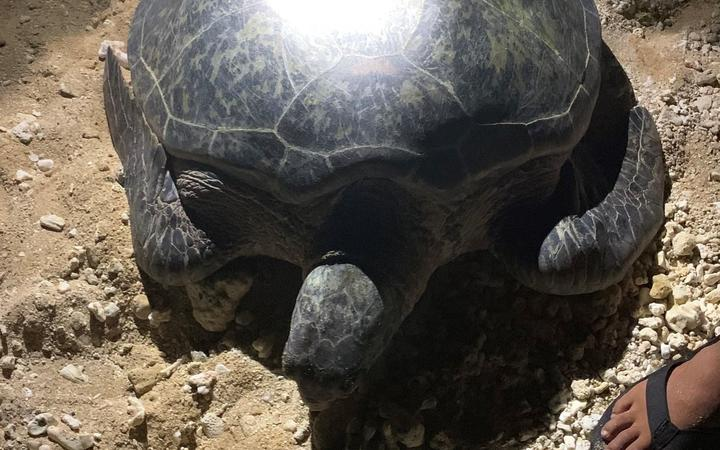 The rescued sea turtle in the CNMI.
