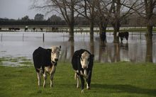 cows standing in water