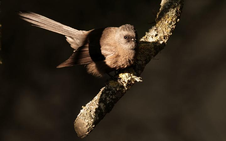 A young piwakawaka perched on a branch searches for food.