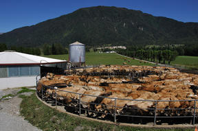 Herd of Jersey cows yarded for milking, West Coast, New Zealand
