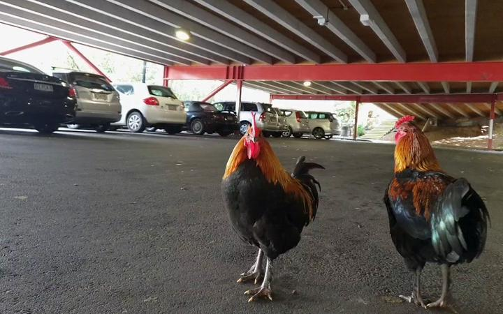 Chickens in a Titirangi car park