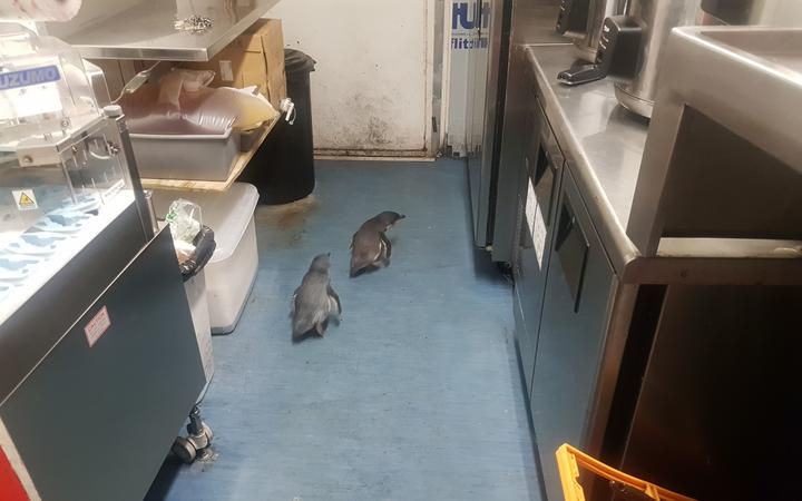 Two Blue Penguins find a nesting spot in a central Wellington sushi store