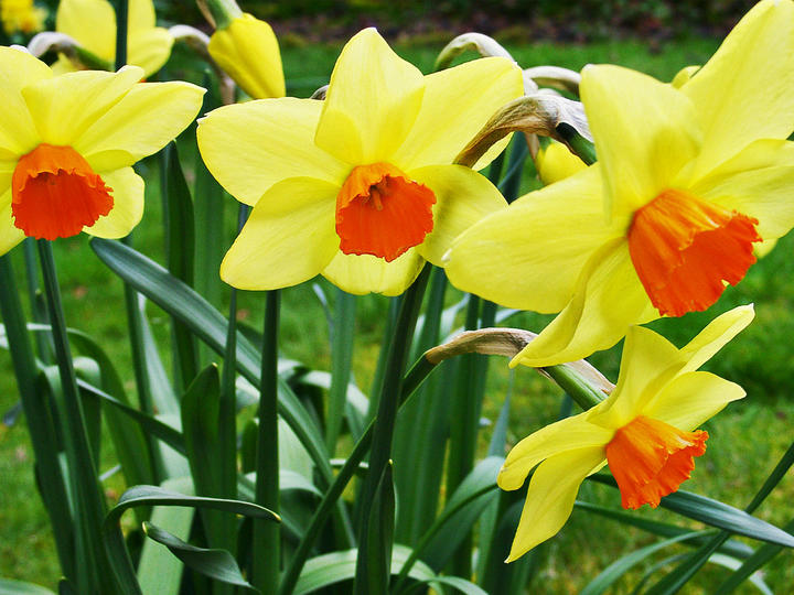 Symbolic Welsh flower, the daffodil