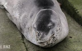 Leopard seal captures attention at Wellington's Oriental Bay