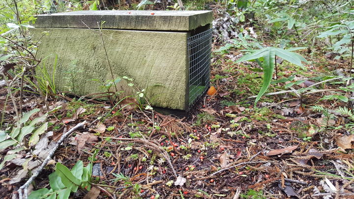 Thousands of stoat traps are being used in Fiordland to keep islands free of the voracious introduced hunter. Rimu fruits carpet the forest floor around this trap.