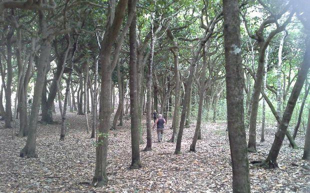 Moriori want to protect tree carvings radio new zealand news