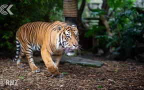 Beautiful Berani: Zookeeper remembers Auckland's last Sumatran tiger
