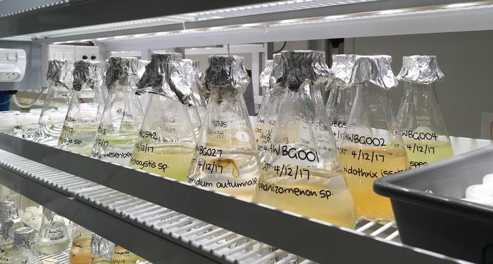 Cyanobacteria cultures at the Cawthron Institute are part of a national collection of microalgae.