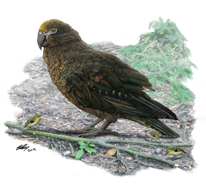 econstruction of the giant parrot Heracles, dwarfing a bevy of 8cm high Kuiornis – small New Zealand wrens scuttling about on the forest floor.