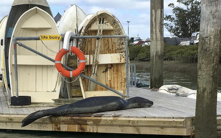 Owha, the leopard seal at Te Atatu Boating Club in Auckland
