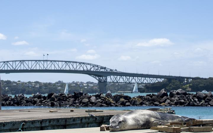 Owha, leopard seal, and the Auckland Harbour Bridge