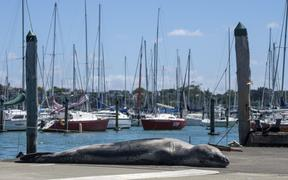 Owha the leopard seal at Westhaven Marina