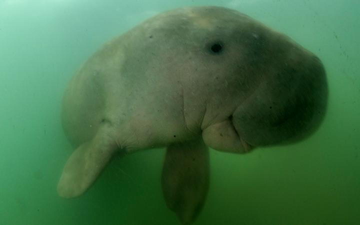 Beloved dugong dies in Thailand with plastic in stomach