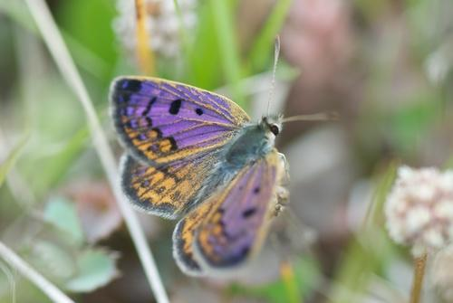 Genus lycaena purple wings