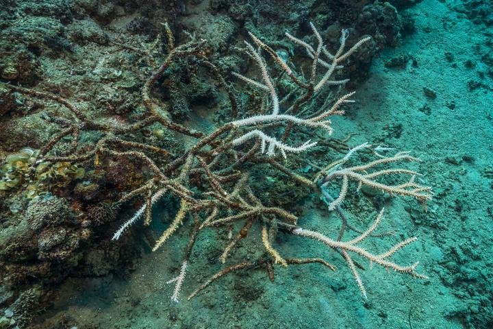 Tara Pacific expedition - november 2017 Bubble site, Normanby Island, Papua New Guinea, Bleaching process visible on Staghorn Coral (Acropora cervicornis), D: 3 m. 