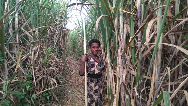 A villager in the cane fields near Lautoka, Fiji