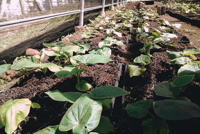 FijiKava aims to have a sustainable supply chain of the crop.