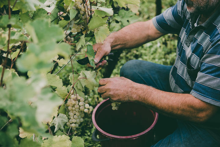 Farmer harvesting in vine yard.