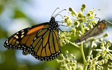 The Monarch butterfly is not native to New Zealand.