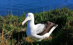 The first albatross back this season is an 8-year-old male which arrived on Sunday.