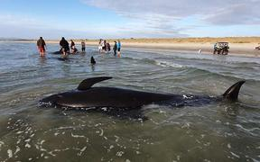 Four pilot whales died after they were stranded on Ruakaka Beach in Northland.