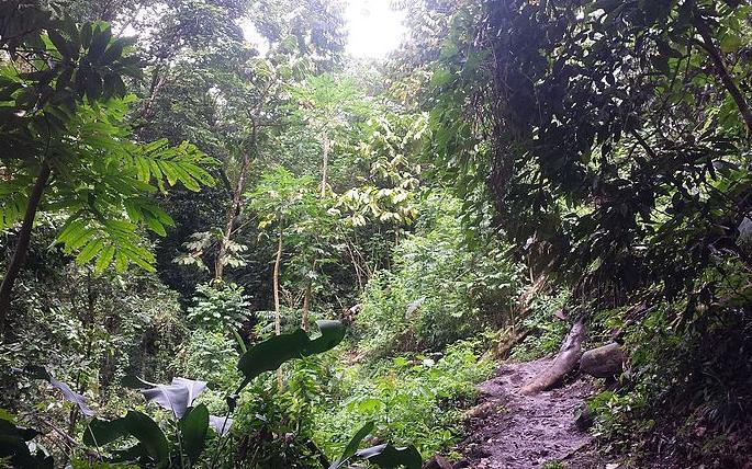 Forest on Mount Vaea, Samoa.