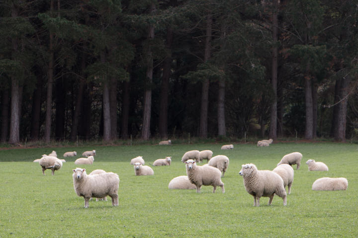 A report commissioned by Beef   Lamb found the returns on forestry land could be twice those of sheep and beef farms - but forestry created fewer jobs