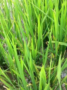 New varieties of rice are being bred to withstand weather extremes and greater soil salinity. Close up image of bright green rice plant growing in paddy