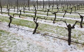 Chris Howell's vineyard had heavy hail lying beneath them, but those that are still yet to grow leaves were unharmed.