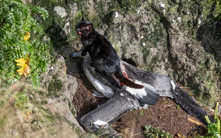 A feral cat feasts on a young albatross on Auckland Island.