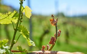 Spring frost damage in vineyard. Grapes frost damage. Frost Grape by slight frost winter injury.