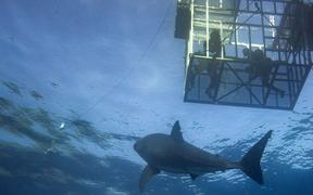 Cage diving with Great White shark coming to you on deep blue ocean background