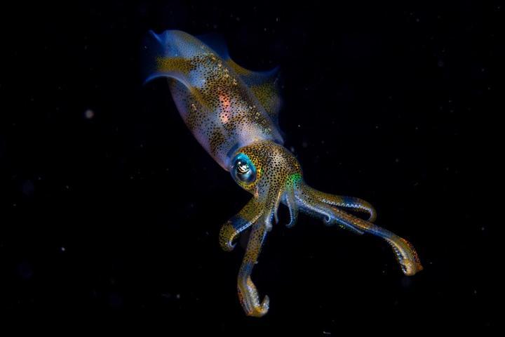 Cruz Erdmann: bigfin reef squid