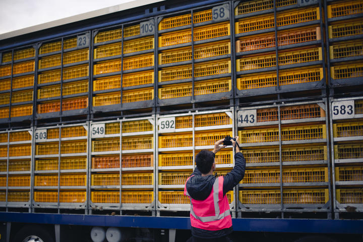 An Auckland Save Movement volunteer films a truck transporting chicken to Tegel.