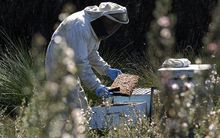 A beekeeper beside flowering tea trees which produce manuka honey.