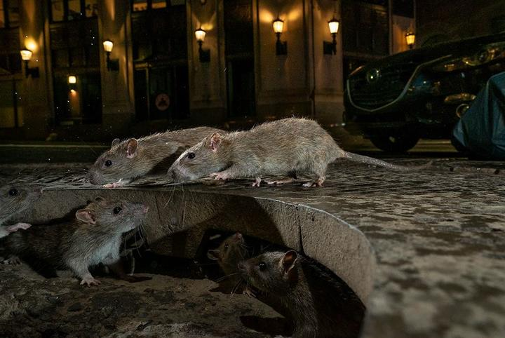 The rat pack, Wall Street, by Charlie Hamilton James, 2019 Wildlife Photographer of the Year section winner.