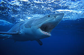 A great white shark, South Australia.