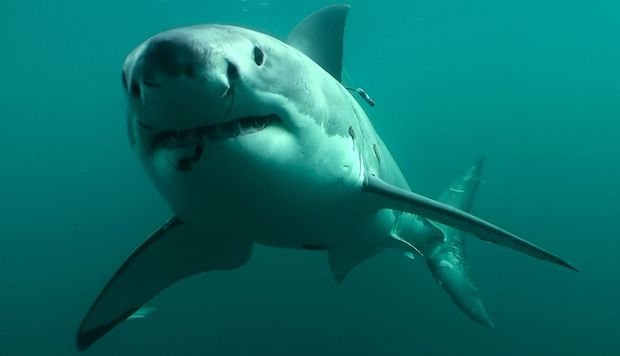 Great White Shark off Stewart Island.
