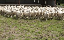 The national livestock survey shows there are 29.8 million sheep in New Zealand with sheep numbers at an 80 year low.