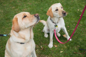Two yellow labradors both called Bella standing in a park