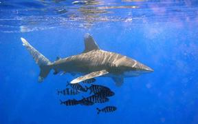 The oceanic whitetip shark.