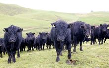 A herd of angus cattle on a beef station at Tarata