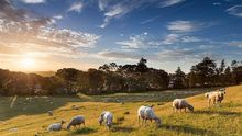 Sheep grazing in Cornwall Park