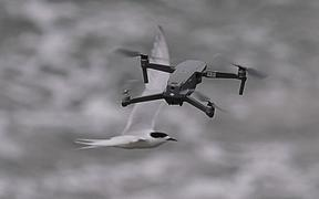 Drones photographed flying among flocks of white-fronted terns.