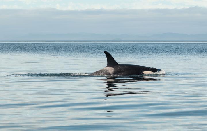 Orca / killer whale.