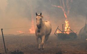 This picture taken on December 31, 2019 shows a horse trying to move away from nearby bushfires at a residential property near the town of Nowra in the Australian state of New South Wales.